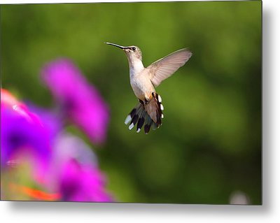 Hummingbird Metal Print by Fuad Azmat