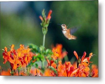 Hummingbird IIi Metal Print