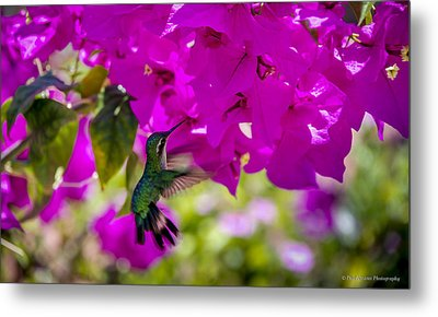 Metal Print featuring the photograph Hummingbird In A Garden Paradise by Phil Abrams