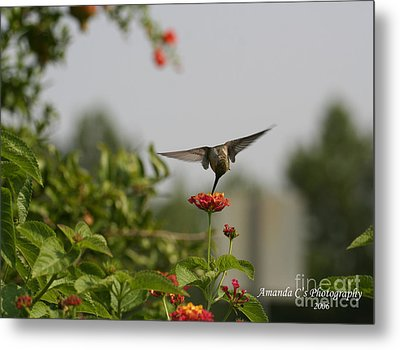 Hummingbird In Action 3 Metal Print by Amanda Collins