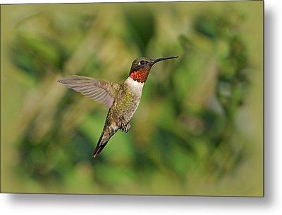 Hummingbird In Flight Metal Print by Sandy Keeton