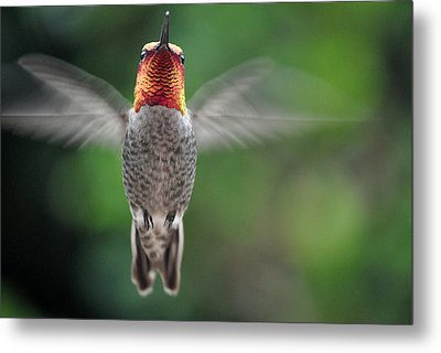 Metal Print featuring the photograph Hummingbird In Flight Male Anna by Jay Milo