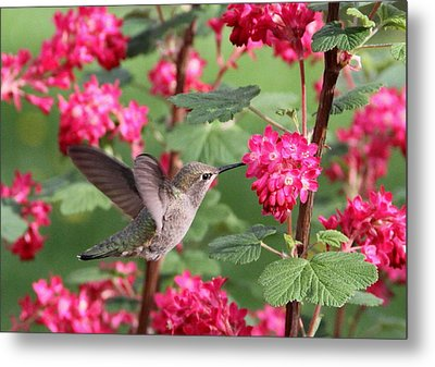 Hummingbird In The Flowering Currant Metal Print
