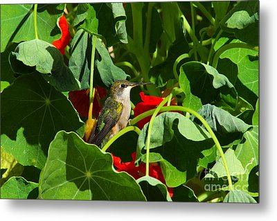 Metal Print featuring the photograph Hummingbird In The Nasturtiums by Marjorie Imbeau