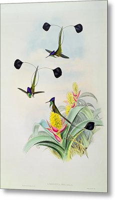 Hummingbird Metal Print by John Gould