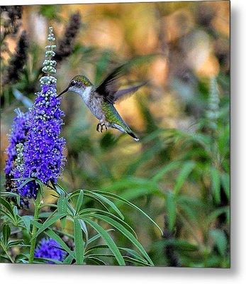 Hummingbird Metal Print by John Johnson