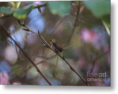 Hummingbird Metal Print by Kevin Ashley