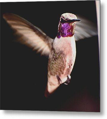 Metal Print featuring the photograph Hummingbird Male Anna In Flight  by Jay Milo