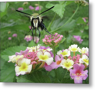 Metal Print featuring the photograph Hummingbird Moth by Donna Brown