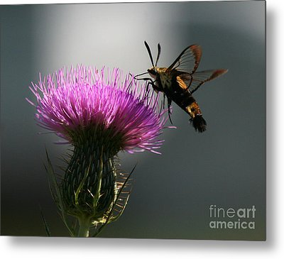 Hummingbird Moth II Metal Print by Douglas Stucky