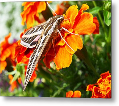 Hummingbird Moth On A Marigold Flower Metal Print