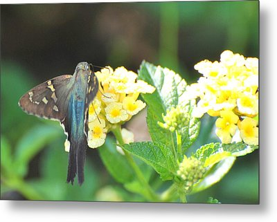 Metal Print featuring the photograph Hummingbird Moth On Yellow Flowers by Jodi Terracina