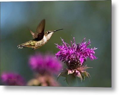 Hummingbird Moving Along Metal Print by Christina Rollo