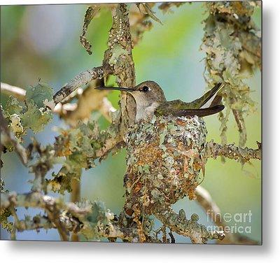 Hummingbird Nesting Metal Print