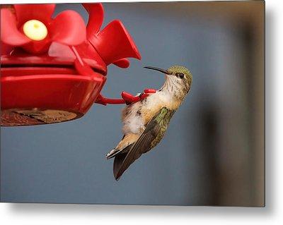 Hummingbird On Feeder Metal Print by Alan Hutchins