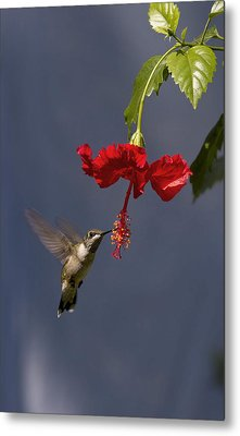 Hummingbird On Hibiscus Metal Print