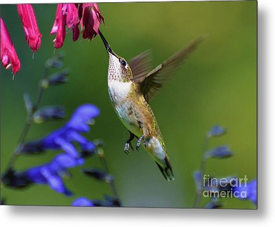 Metal Print featuring the photograph Hummingbird On Wendy's Wish Flower by Kathy Baccari