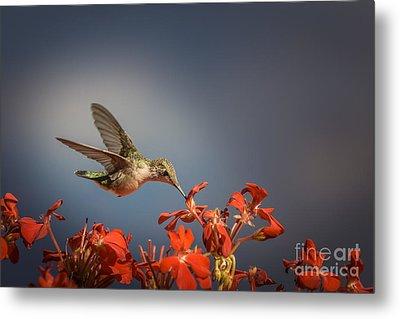 Hummingbird Or My Summer Visitor Metal Print