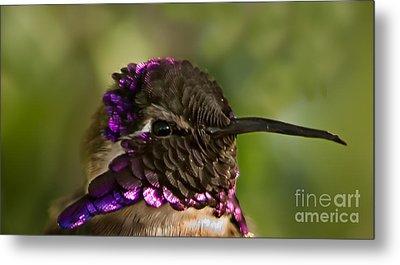 Hummingbird Portrait Metal Print by Robert Bales