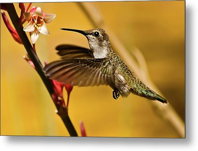 Hummingbird Metal Print by Robert Bales