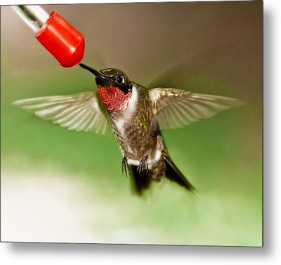 Hummingbird Metal Print by Robert L Jackson