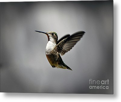 Hummingbird Metal Print by Savannah Gibbs
