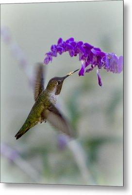 Hummingbird Series 01 Metal Print