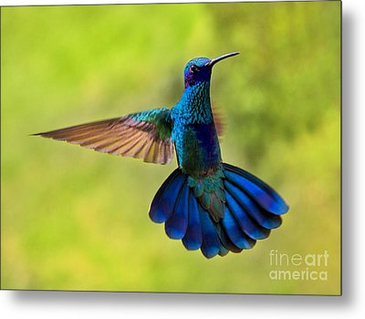 Hummingbird Splendour Metal Print by Al Bourassa