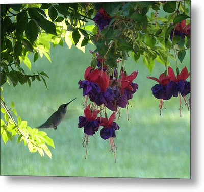 Metal Print featuring the photograph Hummingbird by Teresa Schomig