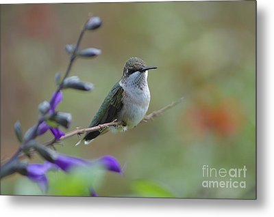 Hummingbird Metal Print by Tim Good
