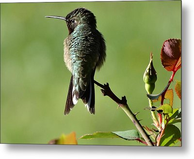 Hummingbird Visits At Sunrise Metal Print by Rebecca Overton