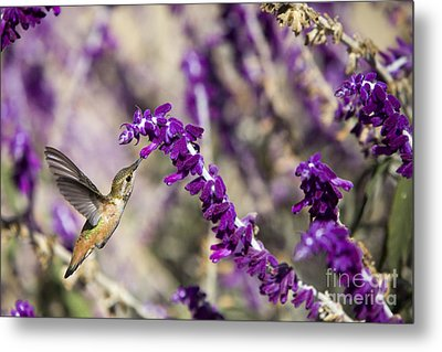 Metal Print featuring the photograph Hummingbird Collecting Nectar by David Millenheft