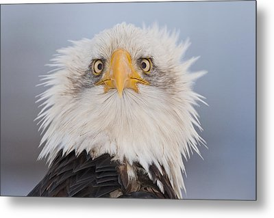 Humorous Portrait Of A Young Eagle Metal Print by Kent Fredriksson