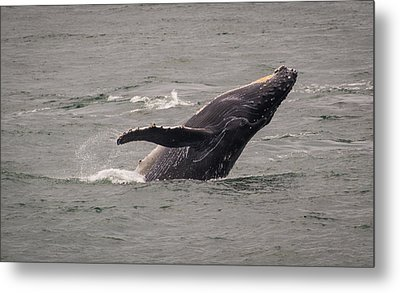 Metal Print featuring the photograph Humpback Whale Breaching by Janis Knight