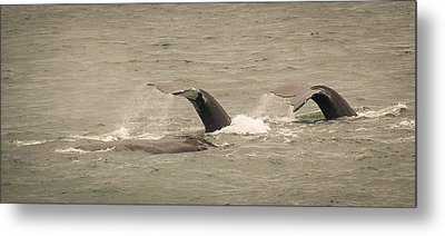 Metal Print featuring the photograph Humpback Flukes by Janis Knight