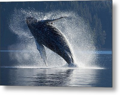 Humpback Whale Breaching In The Waters Metal Print by John Hyde