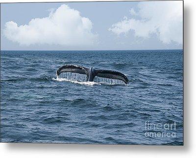 Humpback Whale Fin Metal Print by Juli Scalzi