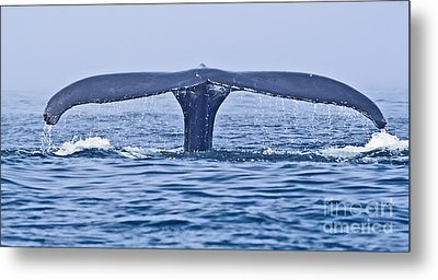 Humpback Whale Fluke Metal Print by Liz Leyden