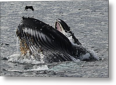 Humpback Whale Metal Print by Liz Vernand