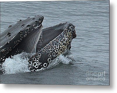 Metal Print featuring the photograph Humpback Whale  Lunge Feeding 2013 In Monterey Bay by California Views Mr Pat Hathaway Archives