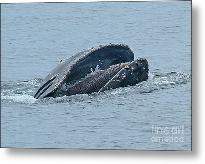 Metal Print featuring the photograph Humpback Whale  Lunge Feeding Monterey Bay 2013 by California Views Mr Pat Hathaway Archives
