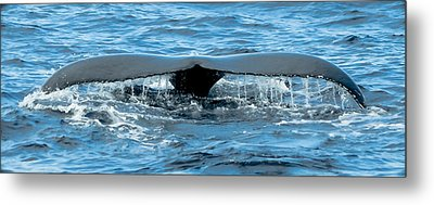 Humpback Whale Tail Off Bermuda Metal Print by Jeff at JSJ Photography