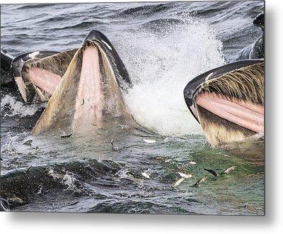 Humpback Whales Gulp Feeding Alaska Metal Print by Flip  Nicklin