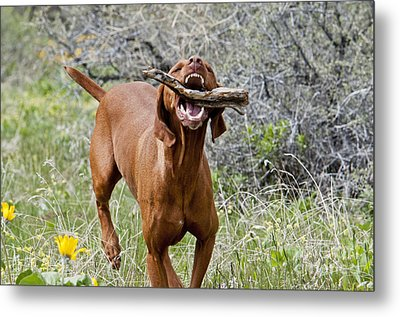 Hungarian Vizsla Retrieving A Stick Metal Print