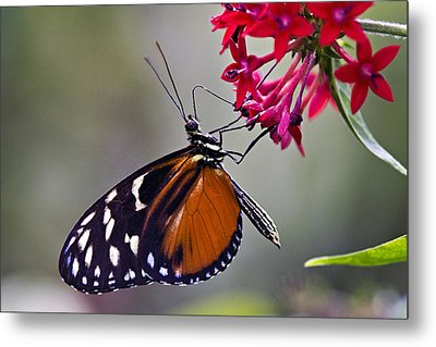 Hungry Butterfly Metal Print