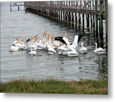 Metal Print featuring the photograph Hungry Pelicans by Linda Cox