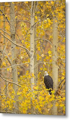 Hunting From An Aspen Metal Print by Tim Grams
