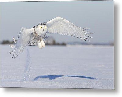 Hunting Snowy Owl Metal Print by Mircea Costina Photography