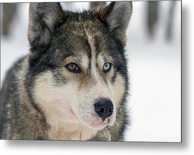 Husky Dog Breading Centre Metal Print by Photostock-israel