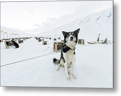 Husky Dogs And Kennels Metal Print by Louise Murray